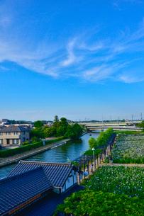 潮来あやめ祭り会場のあやめ園の写真素材 [FYI02491948]