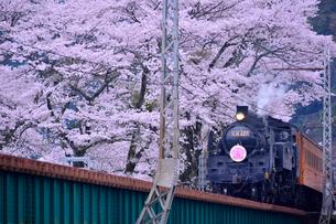 大井川鉄道の蒸気機関車とサクラ(バラ科)の写真素材 [FYI02492049]