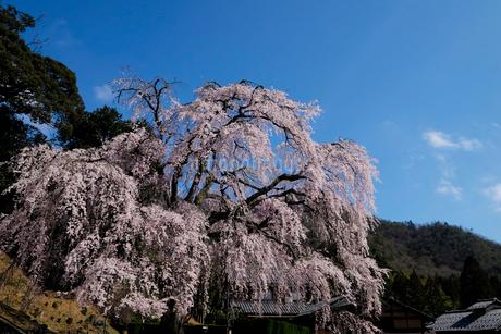 妙祐寺のしだれ桜の写真素材 [FYI02499508]