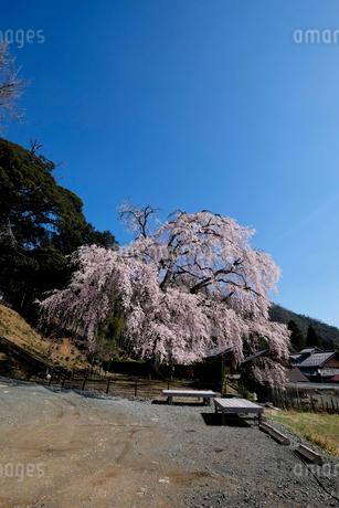 妙祐寺のしだれ桜の写真素材 [FYI02499599]