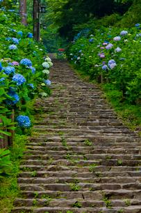 太平山自然公園のあじさい坂の写真素材 [FYI02500390]