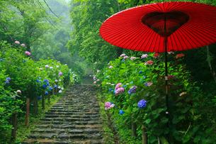 太平山自然公園の雨降るあじさい坂の写真素材 [FYI02500435]