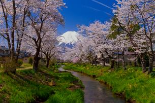 忍野村の桜と富士山の写真素材 [FYI02500488]