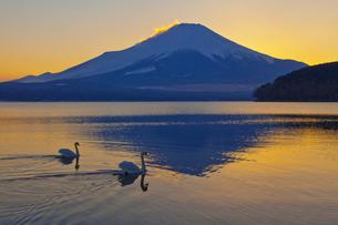山中湖から見た夕暮れの富士山とハクチョウの写真素材 [FYI02500502]