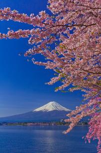 富士山と桜の写真素材 [FYI02500506]
