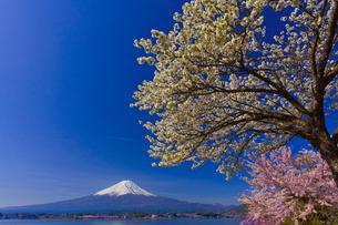 富士山と桜の写真素材 [FYI02500516]