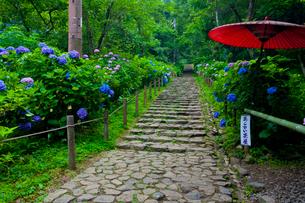 太平山自然公園のあじさい坂の写真素材 [FYI02500522]