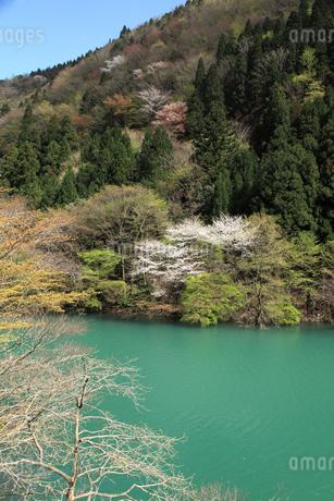 愛知川渓谷(永源寺ダム上流)新緑の写真素材 [FYI02500645]