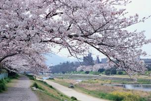 賀茂川の桜の写真素材 [FYI02500787]
