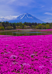 富士山と芝桜の写真素材 [FYI02501186]