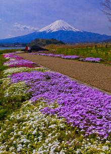 大石公園の芝桜と富士山の写真素材 [FYI02501341]