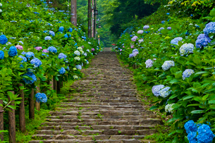 太平山自然公園のあじさい坂の写真素材 [FYI02501767]