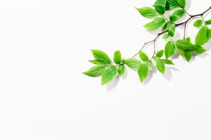 エノキの新緑の枝の写真素材 [FYI02502160]