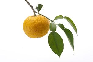 柚子の写真素材 [FYI02505450]