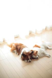 リビングで寝るパピヨンの写真素材 [FYI02507523]