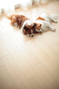 リビングで寝るパピヨンの写真素材 [FYI02507682]