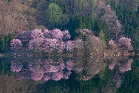 中綱湖の桜の写真素材 [FYI02508142]