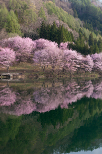 中綱湖の桜の写真素材 [FYI02508223]