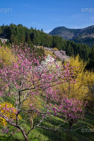 桃とサンシュユの花の写真素材 [FYI02508269]