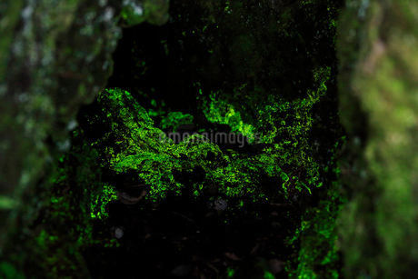 鬼押出し園のヒカリゴケの写真素材 [FYI02514305]