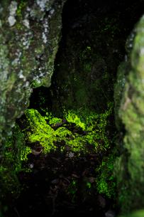 鬼押出し園のヒカリゴケの写真素材 [FYI02514601]