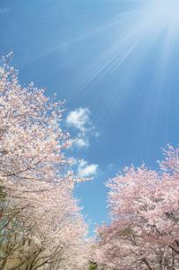 太陽光が降り注ぐ並木道の写真素材 [FYI02515230]