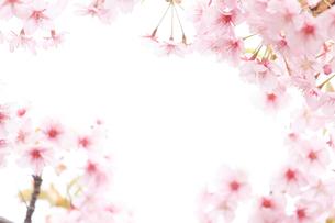 河津桜の写真素材 [FYI02516734]