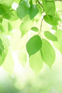 新緑の葉っぱの写真素材 [FYI02517442]