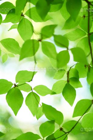 新緑の葉っぱの写真素材 [FYI02517618]