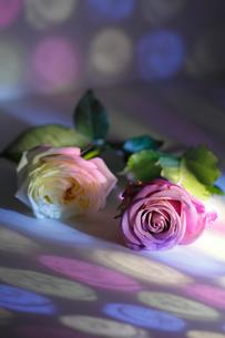白いフレッシュバラとピンクのフレッシュバラに当たる色ガラスの光の写真素材 [FYI02517865]