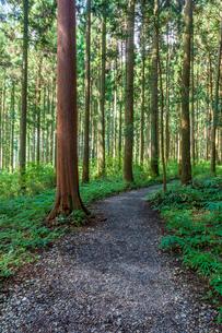 杉林の小道の写真素材 [FYI02518473]