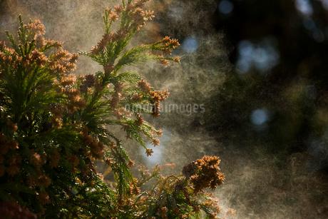 杉花粉の写真素材 [FYI02518598]