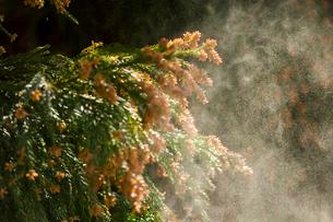 杉花粉の写真素材 [FYI02518599]