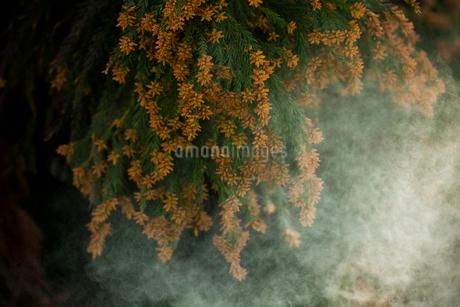 杉花粉の写真素材 [FYI02518601]