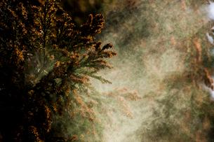 杉花粉の写真素材 [FYI02518621]