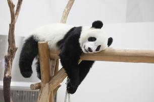 休むパンダの写真素材 [FYI02518684]