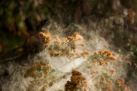 杉花粉の写真素材 [FYI02518773]