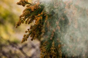 杉花粉の写真素材 [FYI02518825]