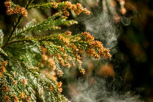 杉花粉の写真素材 [FYI02518842]