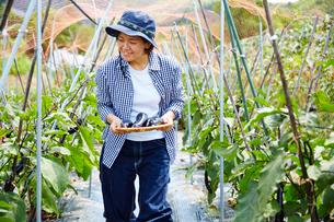 畑でナスを収穫する女性の写真素材 [FYI02520564]