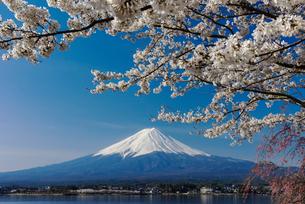 富士山と桜の写真素材 [FYI02522406]