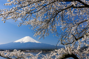 富士山と桜の写真素材 [FYI02522415]