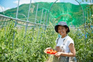 畑で収穫したトマトを持って笑う女性の写真素材 [FYI02524192]