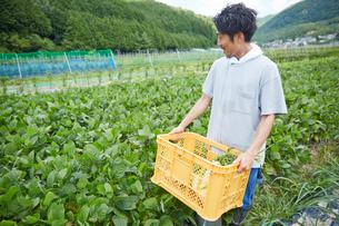 畑で野菜が入ったカゴを持つ男性の写真素材 [FYI02524313]