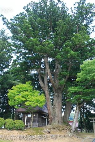 荻ノ島松尾神社の二本杉の写真素材 [FYI02524407]