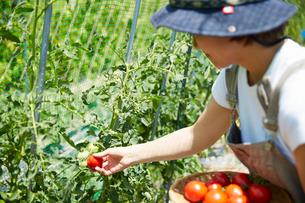 畑のトマトを収穫する女性の写真素材 [FYI02524588]