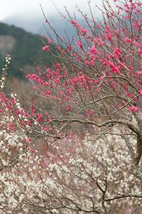 湯河原梅林の白梅と紅梅の写真素材 [FYI02526139]