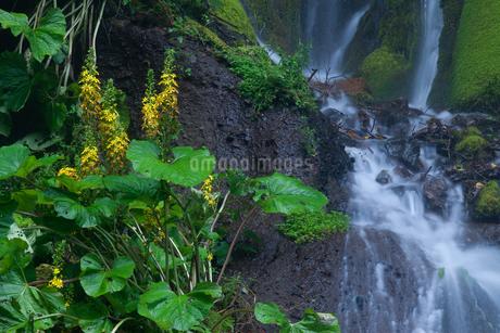 吐竜の滝メタカラコウと流れの写真素材 [FYI02526232]