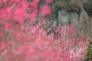湯河原梅林の紅梅と岩の写真素材 [FYI02526295]