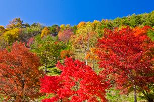 もみじ湖付近の紅葉の写真素材 [FYI02526330]